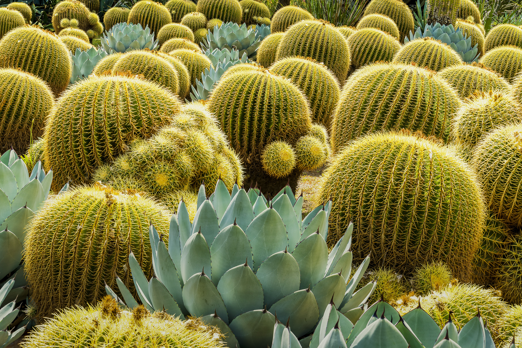 Golden Barrel Cacti & Agave, Huntington Botanical Gardens, San Marino, California, USA