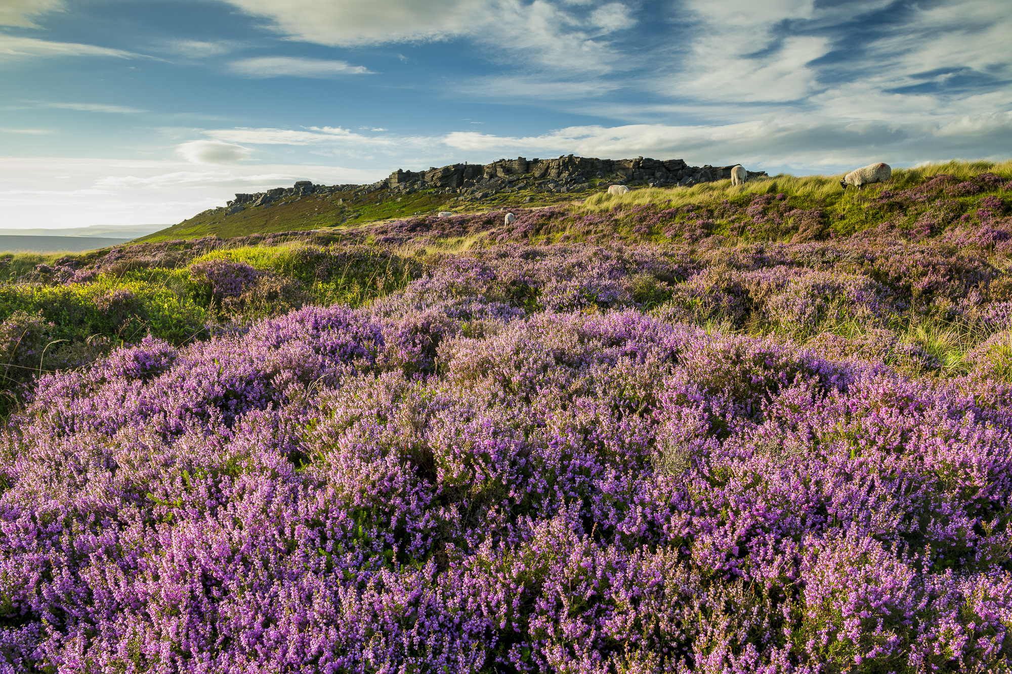 Blooming Heather Below Stanage Edge, Peak District National Park, Derbyshire, England