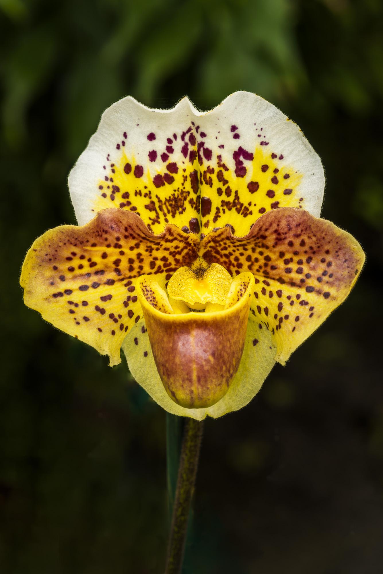 Orchid, LA Arboretum, Los Angeles, California, USA